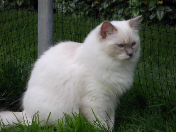 Rouletti Blizzard, a lilac mitted boy.